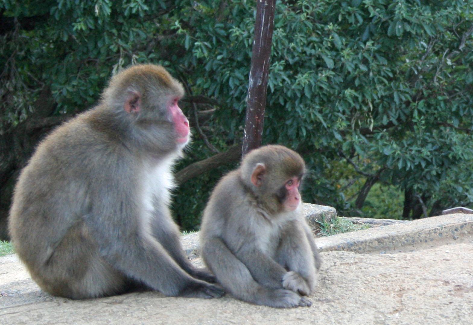 Arashiyama Monkey Park Iwatayama – Kyoto  The Journey of ...